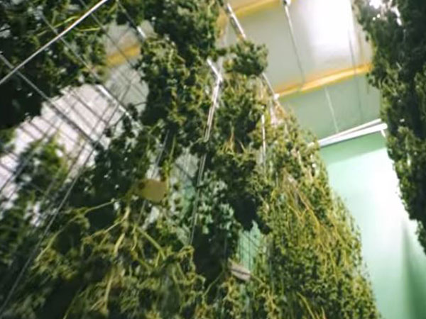 Indoor Cannabis grow room 420 lighting